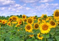 Russian Sunflower cooking Oil Manufacturers