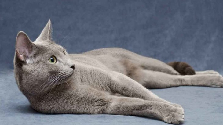 Lifepsan Of Russian Blue Cat