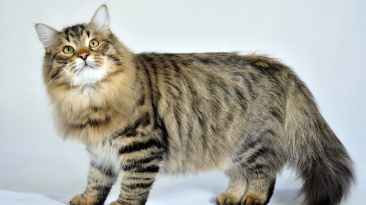 Russian Siberian cat photo